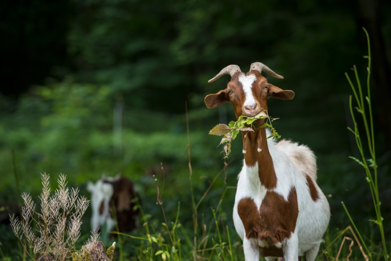 Pregnant goat dies after being assaulted by eight in India