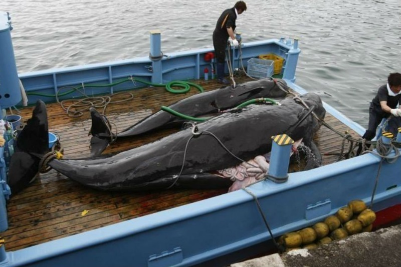 Environmentalists Are Furious After Japan Ditches International Ban On Commercial Whaling