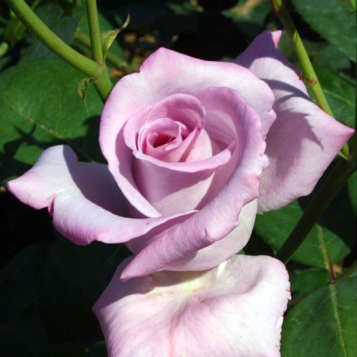 Rose Garden: The blossoming Heaven